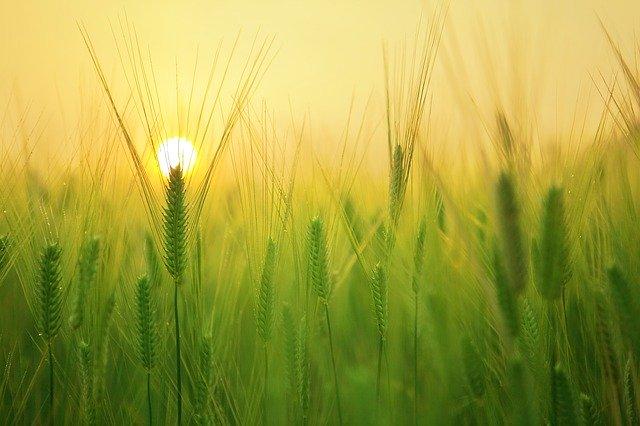 Barley Field Wheat Harvest Sunrise