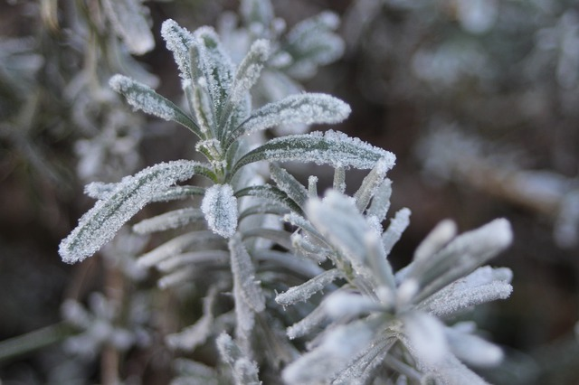 Winter Snow Frost Nature Rosemary
